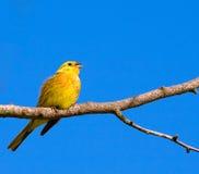 Oiseau jaune photo stock