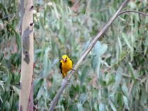 Oiseau jaune Photo libre de droits