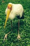 oiseau Jaune-affiché de cigogne photographie stock