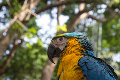 Oiseau jaune bleu coloré de perroquet d'ara Image stock