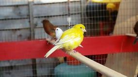 Oiseau jaune canari jaune Photos libres de droits