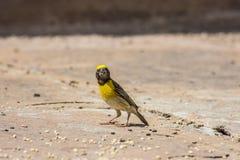 Oiseau jaune de loriot Images libres de droits