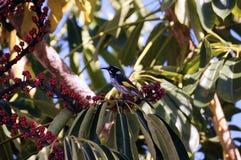 Oiseau jaune et noir australien de Honeyeater Photographie stock