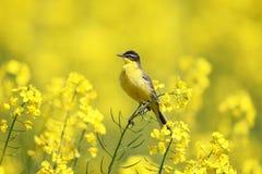 Oiseau jaune et viol jaune Photo stock