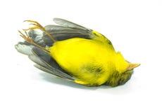 Oiseau jaune mort Images libres de droits