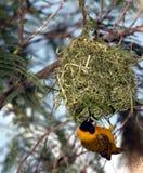 Oiseau jaune s'arrêtant haut en air d'emboîtement Image stock