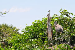 Oiseau, jeunes hérons de grand bleu dans le nid Photos stock
