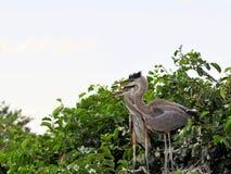 Oiseau, jeunes hérons de grand bleu dans les marécages Images libres de droits