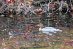 Oiseau, le lac Tahoe Image libre de droits