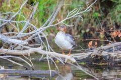 Oiseau, le lac Tahoe Photographie stock libre de droits