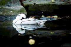 Oiseau le smew images libres de droits