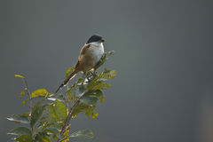 oiseau Long-coupé la queue de pie-grièche au Népal photos stock