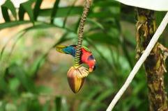 Oiseau --- Lory Noir-recouvert Photographie stock libre de droits