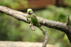Oiseau --- Lory vert Image libre de droits