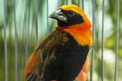 Oiseau lumineux avec le plumage noir et orange photographie stock libre de droits