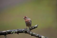Oiseau mâle de pinson de Chambre photo stock