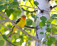 Oiseau mâle de Tanager occidental dans l'arbre Images stock