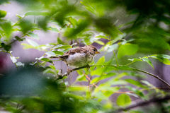 Oiseau méfiant Photos libres de droits