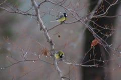 Oiseau - mésange grande Photographie stock libre de droits
