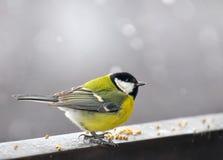 Oiseau mangé le grain pendant l'hiver Images libres de droits