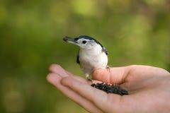 Oiseau mangeant de la main Image stock