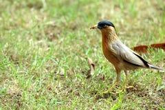 Oiseau mangeant des vers dans le jardin Image stock