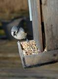 Oiseau mangeant le conducteur en bois d'oiseau de graine Photos stock