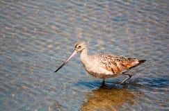 Oiseau marbré brun-rougeâtre de barge photo libre de droits