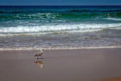 Oiseau marchant sur la plage Photos stock