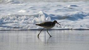 Oiseau marchant sur le rivage arénacé Photos stock