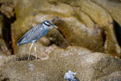 Oiseau marin coloré sur des roches photo libre de droits