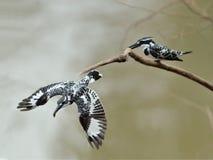 Oiseau (martin-pêcheur pie), Thaïlande Photographie stock