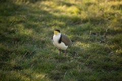 Oiseau masqué de vanneau huppé Photo stock