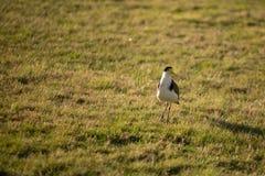 Oiseau masqué de vanneau huppé Photo libre de droits