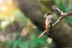 Oiseau mignon étant perché et s'habillant sur la branche Image libre de droits