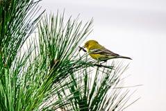 Oiseau minuscule été perché sur l'arbre à feuilles persistantes photographie stock