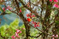 Oiseau, Mme Sunbird de Gould, Sunbird photos libres de droits