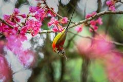 Oiseau, Mme Sunbird de Gould, Sunbird photo stock