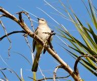 Oiseau moqueur photographie stock libre de droits