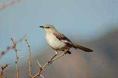 Oiseau moqueur Image libre de droits