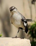 Oiseau moqueur Photos libres de droits