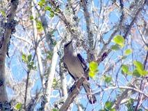 Oiseau moqueur sur un membre d'arbre Image stock