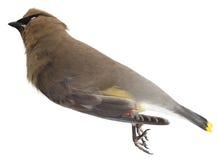 Oiseau mort d'isolement sur le blanc Photographie stock