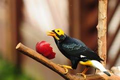 Oiseau --- Mynah jaune-fait face Photos libres de droits