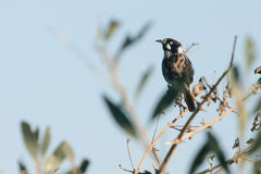 Oiseau neuf de la Hollande Honeyeater sur la perche Photos stock