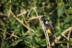 Oiseau neuf de la Hollande Honeyeater sur la perche Photos libres de droits