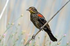 Oiseau noir à ailes rouges Images libres de droits