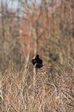 Oiseau noir à ailes rouges 2 Image libre de droits