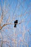 Oiseau noir à ailes rouges 4 Images libres de droits