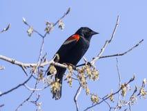 Oiseau noir à ailes rouges sur la branche Image stock